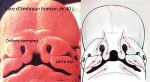 Morphogenèse d'un embryon humain